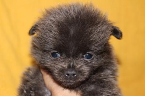 ポメラニアンの子犬(ID:1248911200)の2枚目の写真/更新日:2017-04-03