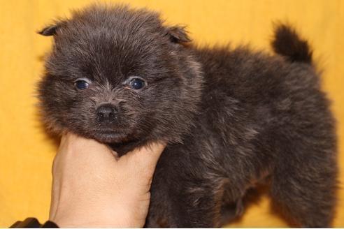 カニンヘンダックスフンド(スムース)の子犬(ID:1248911201)の1枚目の写真/更新日:2017-04-03