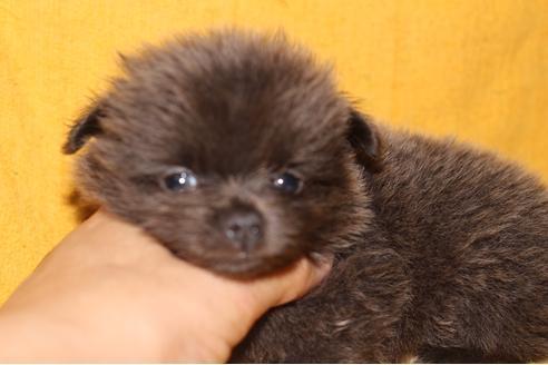 カニンヘンダックスフンド(スムース)の子犬(ID:1248911201)の2枚目の写真/更新日:2017-04-03