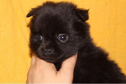 ポメラニアンの子犬(ID:1248911202)の1枚目の写真/更新日:2017-04-03