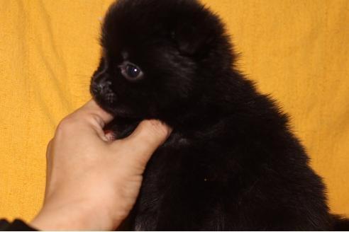 ポメラニアンの子犬(ID:1248911202)の2枚目の写真/更新日:2017-04-03