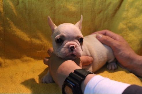 フレンチブルドッグの子犬(ID:1248911203)の2枚目の写真/更新日:2017-04-03