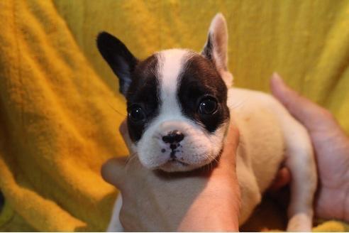 フレンチブルドッグの子犬(ID:1248911205)の1枚目の写真/更新日:2017-04-03