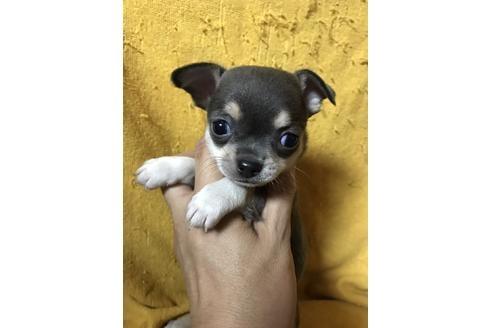 チワワ(スムース)の子犬(ID:1248911206)の1枚目の写真/更新日:2017-04-03
