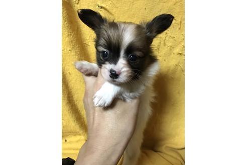 パピヨンの子犬(ID:1248911207)の1枚目の写真/更新日:2017-04-03