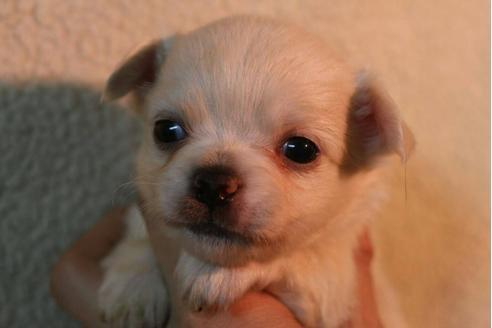 チワワ(ロング)の子犬(ID:1248911208)の1枚目の写真/更新日:2017-04-03