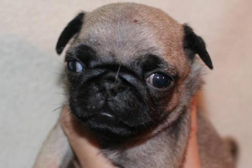 パグの子犬(ID:1248911210)の1枚目の写真/更新日:2017-04-27