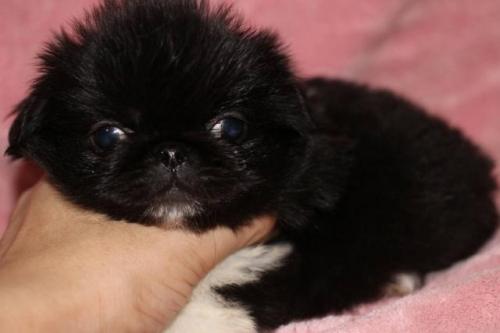 ペキニーズの子犬(ID:1248911211)の1枚目の写真/更新日:2017-04-27