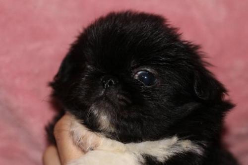 ペキニーズの子犬(ID:1248911211)の2枚目の写真/更新日:2017-04-27