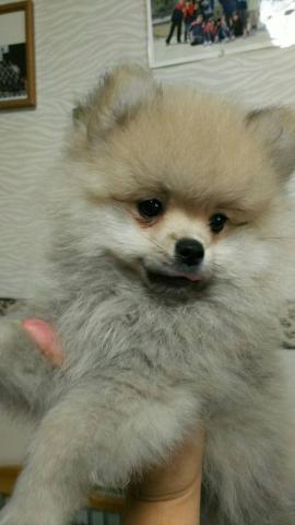 ポメラニアンの子犬(ID:1248911212)の1枚目の写真/更新日:2017-07-03