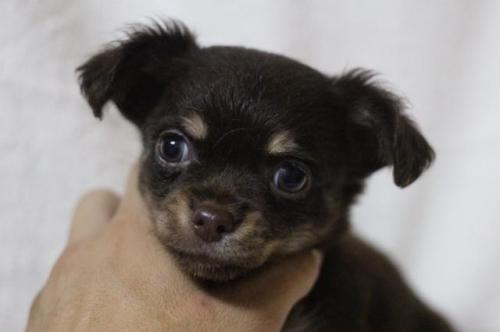 チワワ(ロング)の子犬(ID:1248911213)の1枚目の写真/更新日:2017-09-01