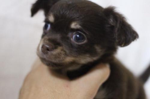 チワワ(ロング)の子犬(ID:1248911213)の2枚目の写真/更新日:2017-09-01