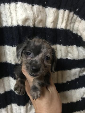 カニンヘンダックスフンド(ワイアー)の子犬(ID:1248911214)の1枚目の写真/更新日:2017-10-10