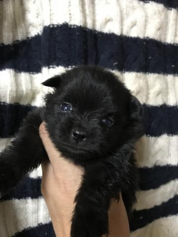 ポメラニアンの子犬(ID:1248911215)の1枚目の写真/更新日:2017-10-17