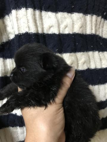 ポメラニアンの子犬(ID:1248911215)の2枚目の写真/更新日:2017-10-17