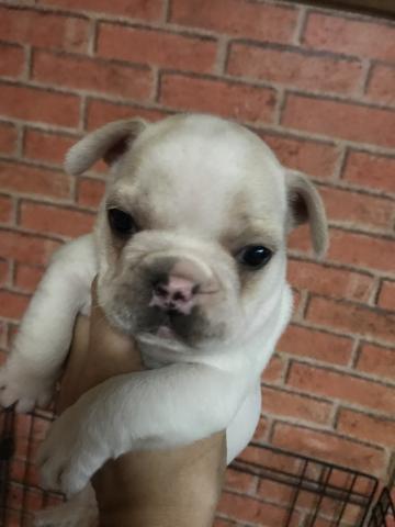 フレンチブルドッグの子犬(ID:1248911216)の1枚目の写真/更新日:2017-10-27