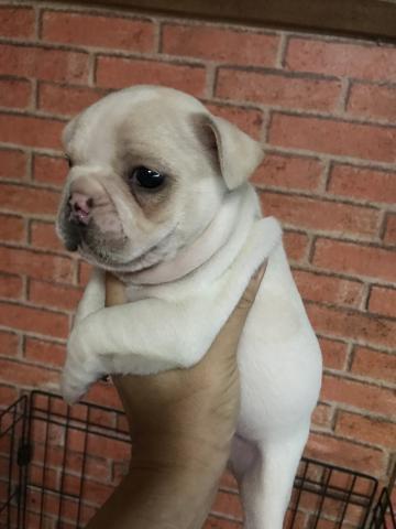 フレンチブルドッグの子犬(ID:1248911216)の2枚目の写真/更新日:2017-10-27