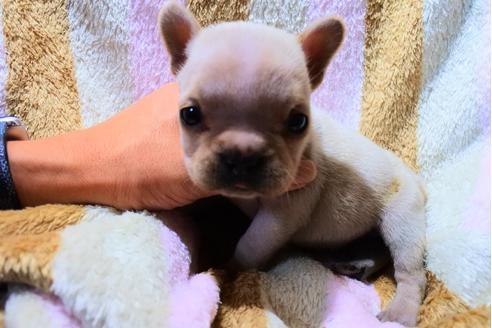 フレンチブルドッグの子犬(ID:1248911217)の1枚目の写真/更新日:2017-10-27