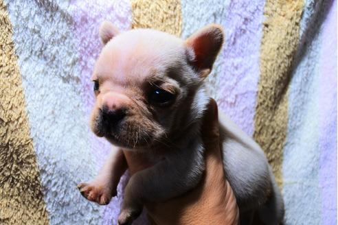 フレンチブルドッグの子犬(ID:1248911217)の2枚目の写真/更新日:2017-10-27