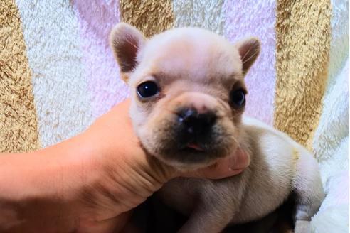 フレンチブルドッグの子犬(ID:1248911217)の3枚目の写真/更新日:2018-05-28