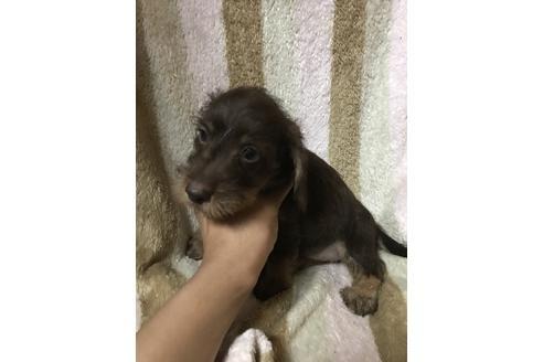 フレンチブルドッグの子犬(ID:1248911218)の1枚目の写真/更新日:2017-11-22