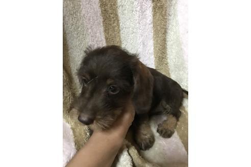 カニンヘンダックスフンド(ワイアー)の子犬(ID:1248911218)の2枚目の写真/更新日:2018-08-02