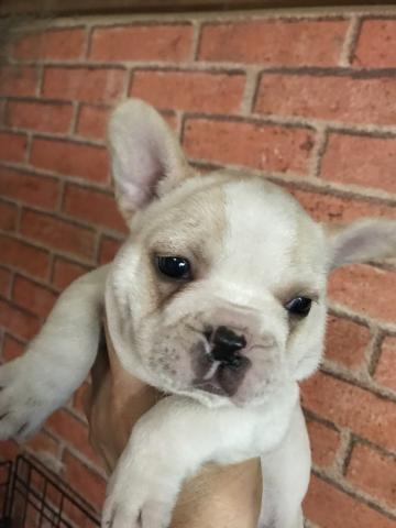 フレンチブルドッグの子犬(ID:1248911219)の1枚目の写真/更新日:2017-11-22