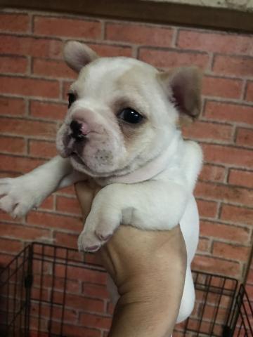 フレンチブルドッグの子犬(ID:1248911219)の2枚目の写真/更新日:2017-11-22