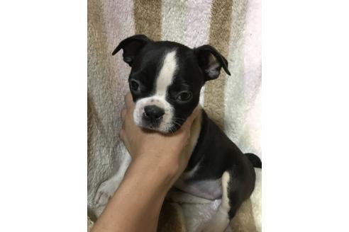 ボストンテリアの子犬(ID:1248911220)の1枚目の写真/更新日:2018-08-02