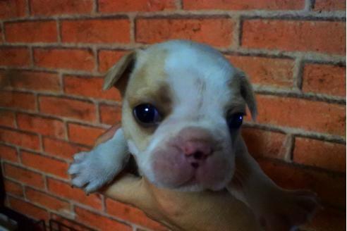 フレンチブルドッグの子犬(ID:1248911221)の1枚目の写真/更新日:2018-04-23
