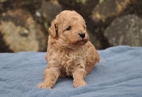 トイプードルの子犬(ID:1249011005)の1枚目の写真/更新日:2017-02-27