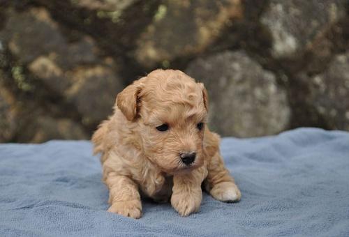 トイプードルの子犬(ID:1249011006)の1枚目の写真/更新日:2017-02-27