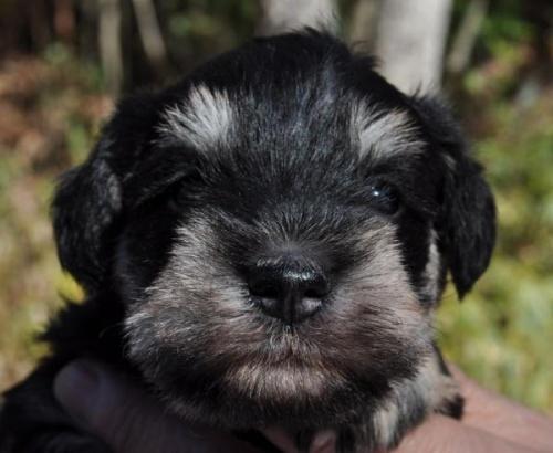 ミニチュアシュナウザーの子犬(ID:1249011008)の1枚目の写真/更新日:2018-01-06
