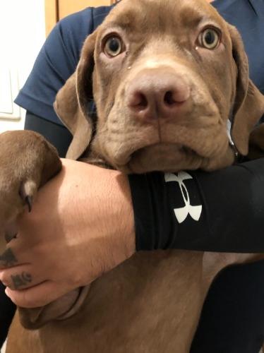 アメリカンピットブルテリアの子犬(ID:1249211064)の1枚目の写真/更新日:2021-09-30