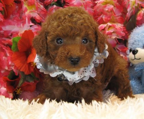 トイプードルの子犬(ID:1249511709)の1枚目の写真/更新日:2016-12-06