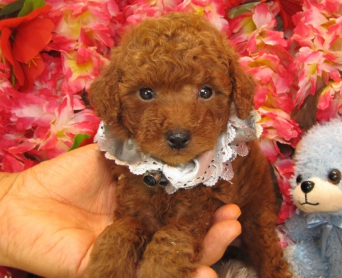 トイプードルの子犬(ID:1249511709)の2枚目の写真/更新日:2016-12-06