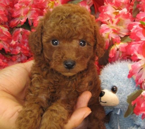 トイプードルの子犬(ID:1249511709)の3枚目の写真/更新日:2016-12-06