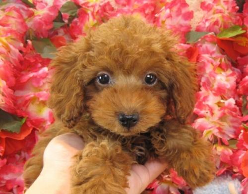 トイプードルの子犬(ID:1249511721)の2枚目の写真/更新日:2016-12-26