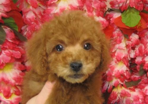 トイプードルの子犬(ID:1249511726)の2枚目の写真/更新日:2017-01-16