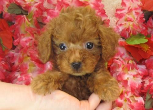 トイプードルの子犬(ID:1249511728)の2枚目の写真/更新日:2017-01-16