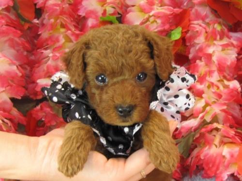 トイプードルの子犬(ID:1249511729)の1枚目の写真/更新日:2017-01-04