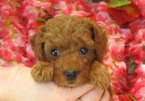 トイプードルの子犬(ID:1249511729)の2枚目の写真/更新日:2017-01-04