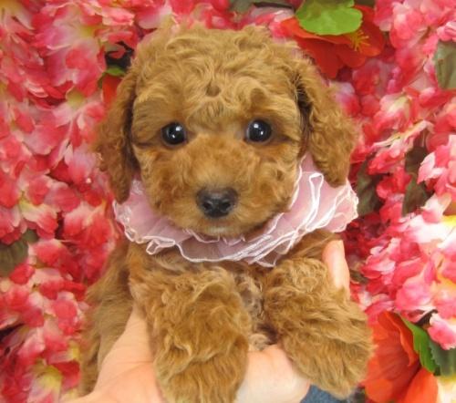 トイプードルの子犬(ID:1249511730)の1枚目の写真/更新日:2017-01-04