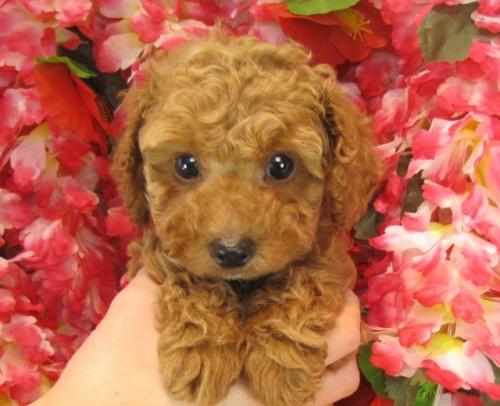 トイプードルの子犬(ID:1249511730)の2枚目の写真/更新日:2017-01-04