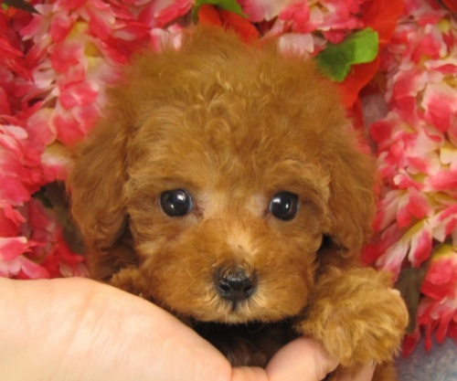 トイプードルの子犬(ID:1249511731)の2枚目の写真/更新日:2017-01-16