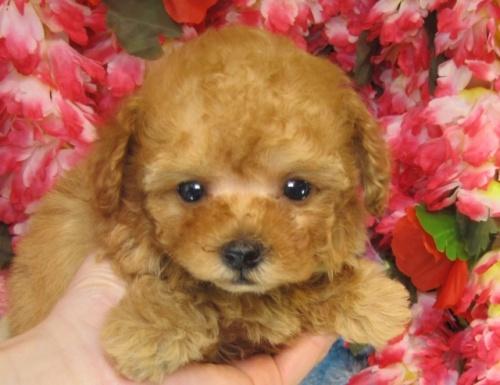 トイプードルの子犬(ID:1249511732)の2枚目の写真/更新日:2017-01-16