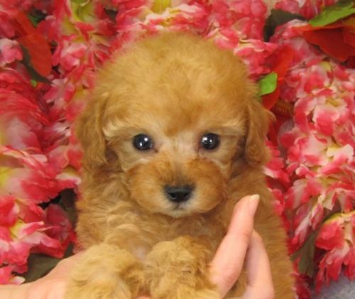トイプードルの子犬(ID:1249511733)の2枚目の写真/更新日:2017-01-16
