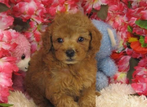 トイプードルの子犬(ID:1249511734)の1枚目の写真/更新日:2017-01-23