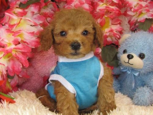 トイプードルの子犬(ID:1249511734)の2枚目の写真/更新日:2017-01-23