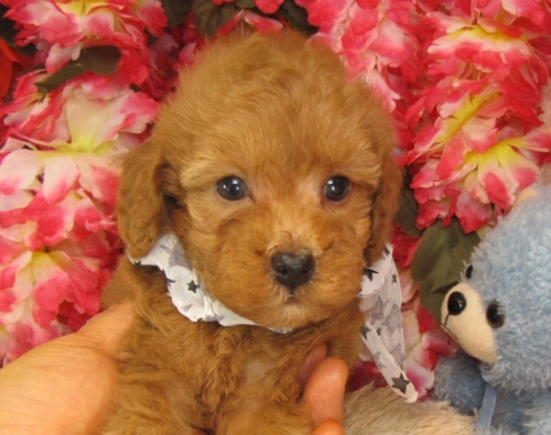 トイプードルの子犬(ID:1249511735)の1枚目の写真/更新日:2017-01-23
